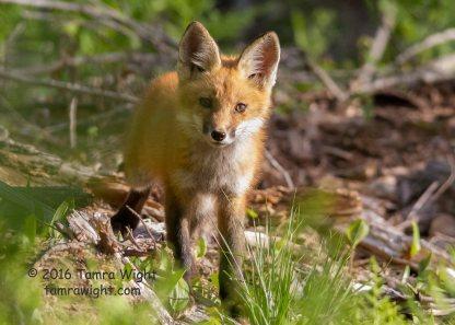 Fox Den June 1 (19)